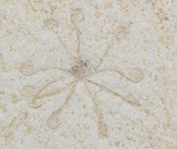 Floating Crinoid (Saccocoma) - Solnhofen Limestone For Sale, #22454