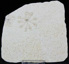 Saccocoma pectinata (Floating Crinoid) - Fossils For Sale - #22464