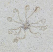 Floating Crinoid (Saccocoma) - Solnhofen Limestone For Sale, #22469
