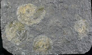 Dactylioceras - Fossils For Sale - #23103