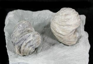 Lepidocyclus perlamellosus - Fossils For Sale - #23319