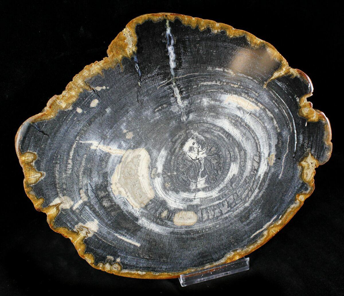 9.5 Petrified Wood (Tropical Hardwood) Slab - Indonesia