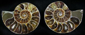 "Buy Small Desmoceras Ammonite Pair - 1.2"" - #23836"