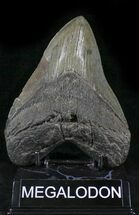 "Large 5.53"" Fossil Megalodon Tooth - South Carolina For Sale, #24449"