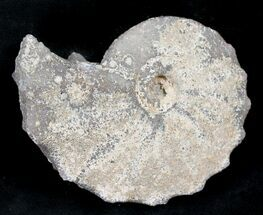 "Buy 2.15"" Agate/Chalcedony Replaced Ammonite Fossil - #25501"