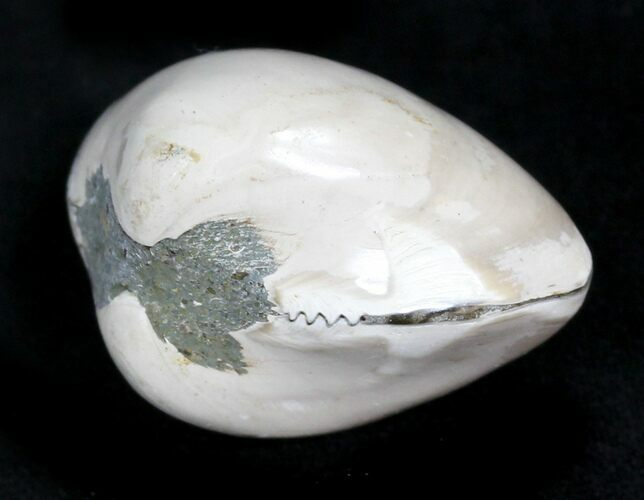 Polished Fossil Astarte Clam - Medium Size
