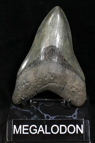"4.82"" Lower Megalodon Tooth - South Carolina"