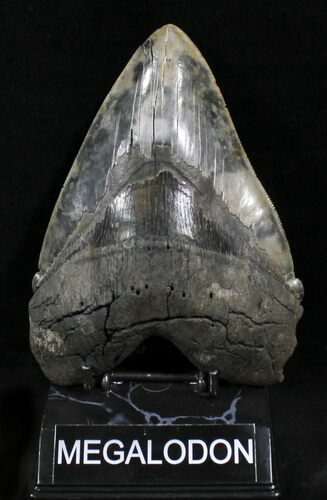 "Killer 6.22"" Megalodon Tooth - An Absolute Beast"
