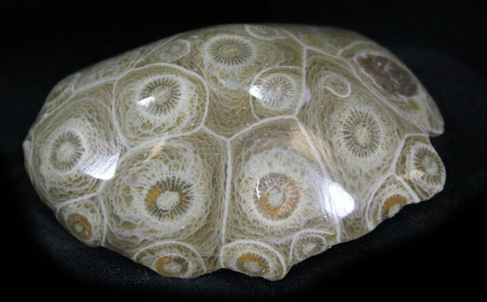 "2.4"" Polished Fossil Coral Head - Morocco"
