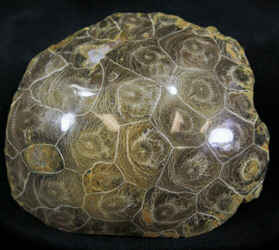 "3"" Polished Fossil Coral Head - Morocco"