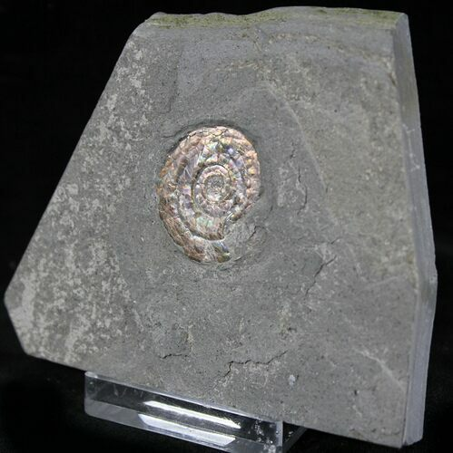 ".9"" Brilliant Psiloceras Ammonite - England"