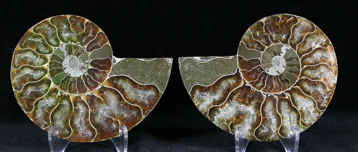 "3.17"" Polished Ammonite Pair - 110 Million Years"