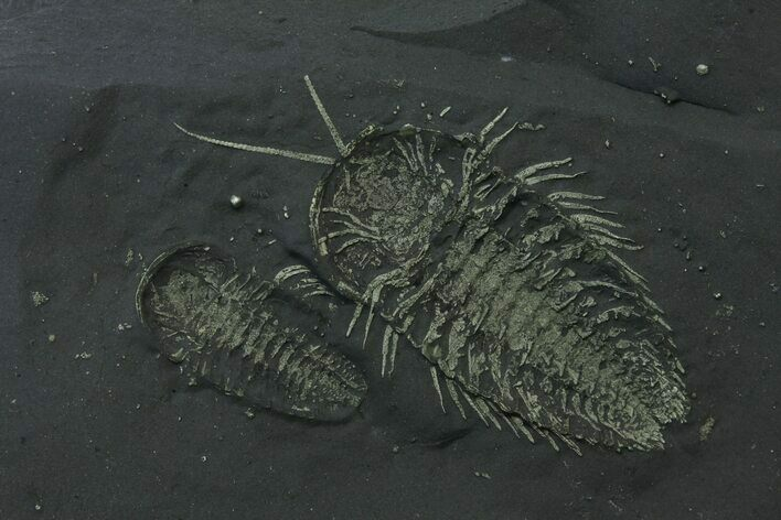 Double Pyritized Triarthrus Trilobite With Legs! - New York