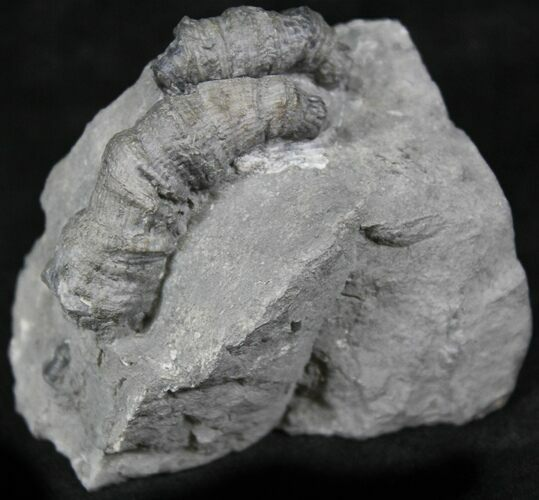 Horn Coral, Devonian Aged From New York
