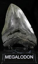 "Large 5.73"" Megalodon Tooth - South Carolina For Sale, #26498"