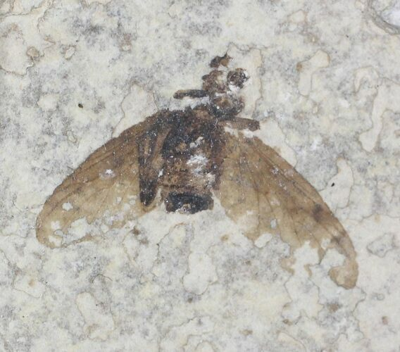 Fossil March Fly (Plecia) - Green River Formation