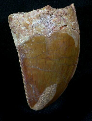 "1.22"" Carcharodontosaurus Tooth - Massive Meat-Eater"