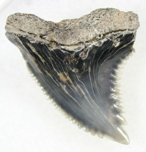"Beautiful .93"" Hemipristis Shark Tooth Fossil"
