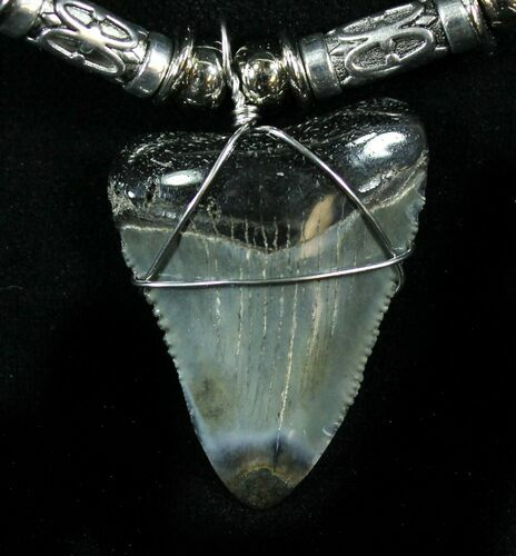 "1.3"" Juvenile Megalodon Tooth Necklace"