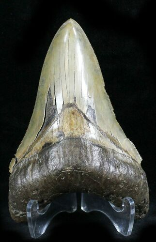 "Unique Coloration 4.57"" Megalodon Tooth - South Carolina"
