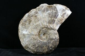 "Huge 14"" Ammonite (Choffaticeras?) - Goulmima, Morocco For Sale, #27365"