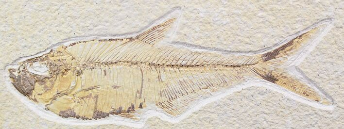 "5"" Diplomystus Fossil Fish - Wyoming"