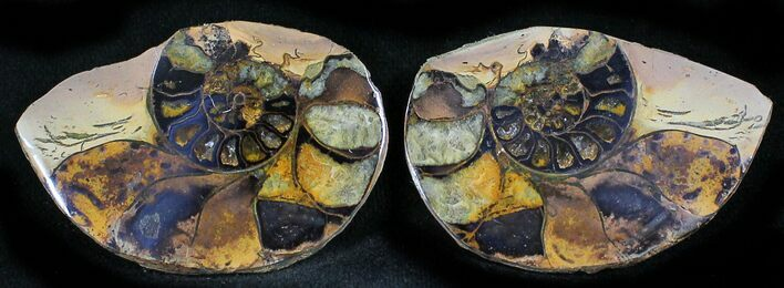 "1.7"" Iron Replaced Ammonite Fossil Pair"