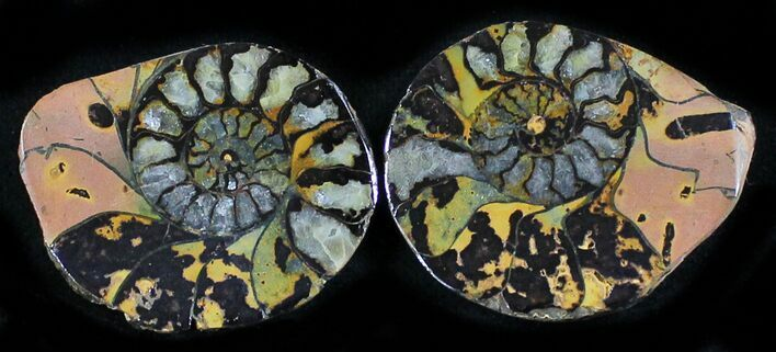 "1.1"" Iron Replaced Ammonite Fossil Pair"