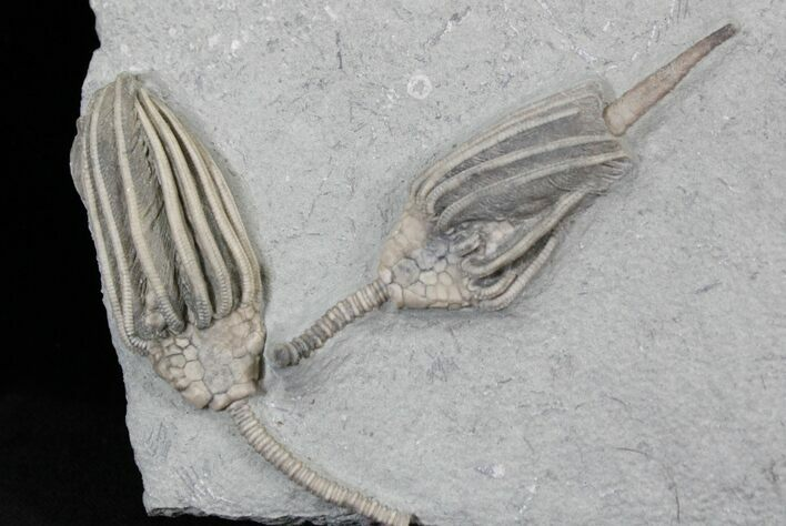 Two Beautifully Preserved Macrocrinus Crinoids - Indiana