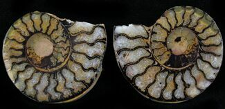 "1.4"" Iron Replaced Ammonite Fossil Pair For Sale, #27491"