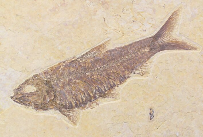 "4.1"" Knightia Fossil Fish - Wyoming"