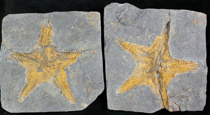Large Fossil Starfish (Petraster?) - Part/Counterpart