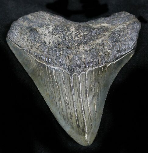 "Bargain 2.23"" Juvenile Megalodon Tooth - South Carolina"