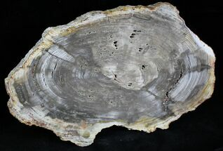 "Buy 8.5"" Petrified Wood (Tropical Hardwood) Slab - Indonesia - #28240"