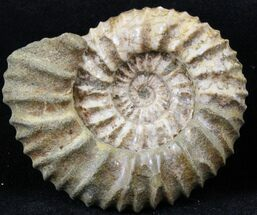 Pavlovia raricostata - Fossils For Sale - #29730