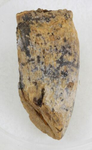 Partial Tyrannosaur Tooth - Hell Creek Formation