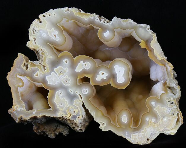 "6.7"" Agatized Fossil Coral Geode - Florida"