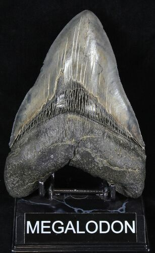 "Huge, Serrated 5.82"" Megalodon Tooth - South Carolina"