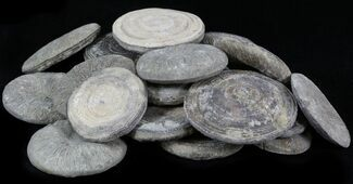 Bulk Coral (Cyclolites) Fossils- 10 Pack For Sale, #30920