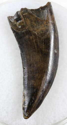 "Beautiful 1.23"" Nanotyrannus Tooth - Montana"
