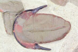 Colorful Harpides Trilobite - Draa Valley, Morocco For Sale, #31097