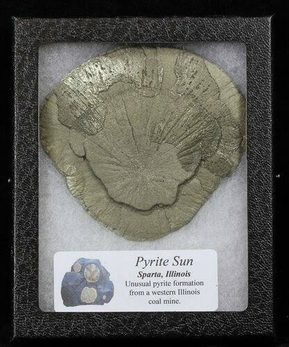 "3.6"" Pyrite Sun In Riker Mount Case - Illinois"
