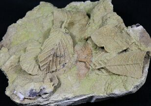 Plant Fossils For Sale