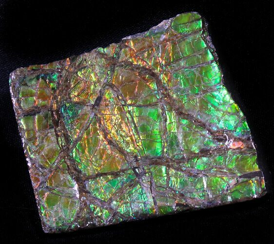 "2.7"" Brilliant Iridescent Ammolite - Fossil Ammonite Shell"