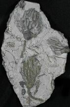 Arthroacantha carpenteri - Fossils For Sale - #31467
