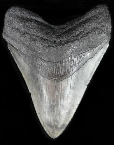 "4.63"" Fossil Megalodon Tooth - Georgia"