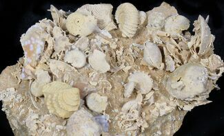 Buy Exquisite Miniature Ammonite Fossil Cluster - France - #31591
