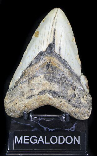 "Bargain 5.76"" Megalodon Tooth - North Carolina"