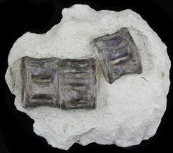 Buy Associated Xiphactinus Vertebrae In Matrix - Kansas - #31663