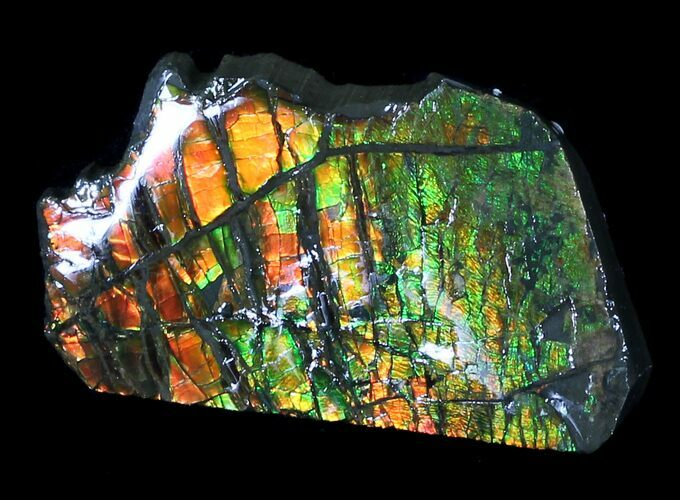 "2.1"" Brilliant Iridescent Ammolite With Display Case"